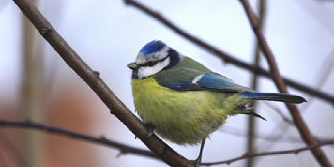 Song bird in tree