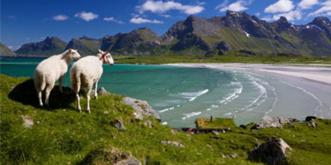 Sheep on Lofoten in Norway