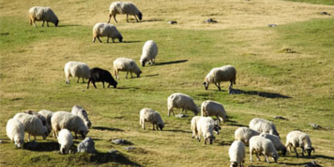 a flock of sheep in a field eating grass